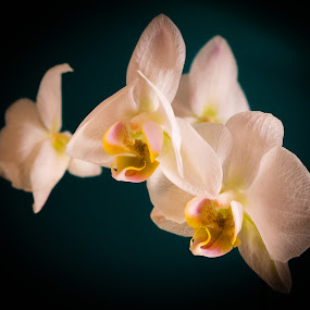 Orchids by Ian Thompson - Flowers Flower Arangements ( orchid, orchids, beautiful, white, bloom, teal, blossom, flower )