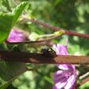 treehopper; chinche saltadora