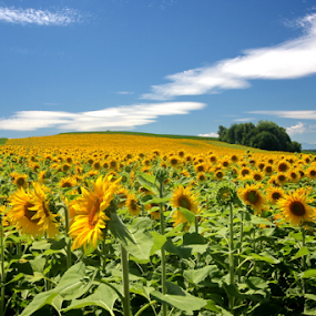 Sunflower field by Michael Schwartz - Flowers Flowers in the Wild ( sunny, sunflowers, summer, sunshine, filed, Hope,  )