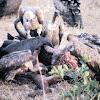 Rüppell's vultures feeding