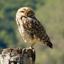 Coruja buraqueira (Burrowing Owl)