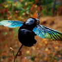 Blue-eyed Carpenter Bee