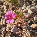 Bigelow's Monkey Flower