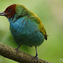 Bay-headed Tanager (Tangara Cabecicastaña)
