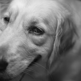The Lonely Eyes by Ivan Lim - Animals - Dogs Portraits ( dogs, black and white, sad, impression, waiting, daze, eyes, watching, pet, black and white dog, dog, lonely, eye )