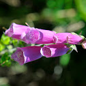 Fox Glove species
