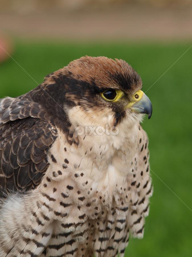 The rap 5 by Garry Chisholm - Animals Birds ( falcon, raptor, chisholm, garry, hawk )