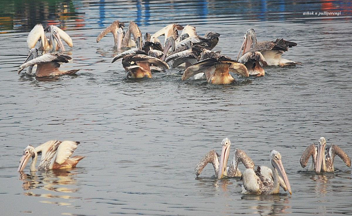 Spot-billed Pelican or Grey Pelican