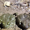 Western spade foot toads adults and juvenile