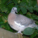 Common Wood Pigeon Chick