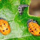 seven-spot ladybird puppae