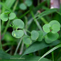 Dew Herb