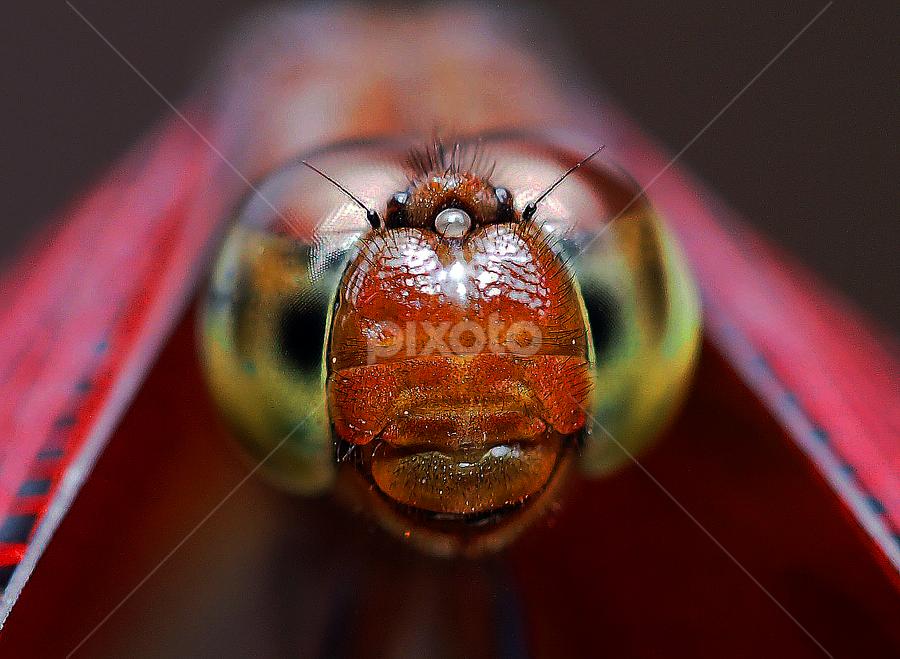 by Neni Wijaya - Animals Insects & Spiders ( bekasi, ciketing, mygarden, insect, animal )