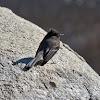 Mosquero negro (Black Phoebe)