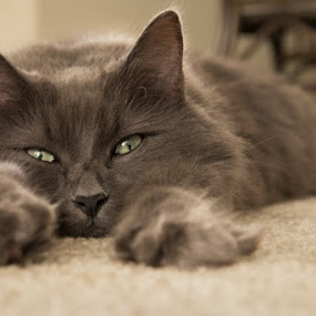 Jake by Shirley Cohen - Animals - Cats Portraits