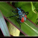 Florida Predatory Stink Bug