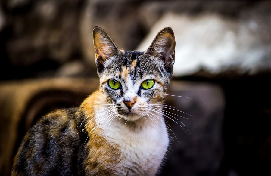 Frozen by Neel Gengje - Animals - Cats Portraits ( cat, awesome, hair, light, eyes )