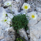 Alpine poppy