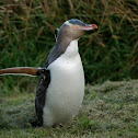 Yellow- Eyed Penguin