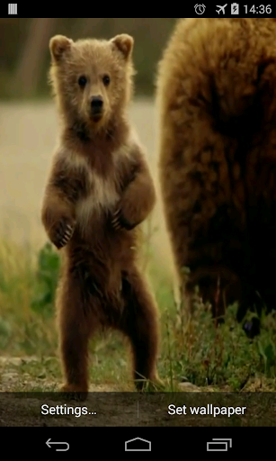 Cute Bear Video Live Wallpaper