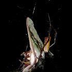 Golden orb weaver spider eating Luna moth