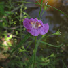 Slenderleaf False Foxglove