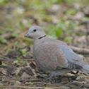 紅鳩 / Red Turtle Dove