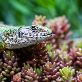 Zelenbac by Dejan Stanic - Animals Reptiles