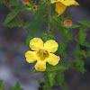Combleaf Yellow False Foxglove