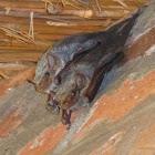 Mauritian Tomb Bat