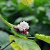 smelly jasmine