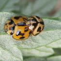Variable Ladybird Beetles