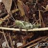 Mimetic Grasshopper