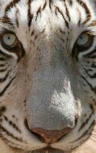 Wild Tiger Jigsaw Puzzle
