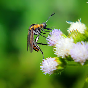 si bongkok by Assaifi Fajarmass - Animals Insects & Spiders ( macro, macro photography, green, insect, robber fly )