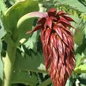 Giant Honey flower