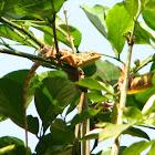 Oriental garden lizard, changeable lizard