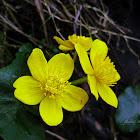 Yellow marsh marigold, Kaczyniec błotny