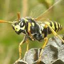 Yellowjacket - Echte Wespe