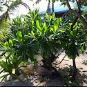 Fish Poison Tree or Putat