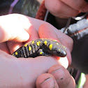 Black and yellow spotted salamander
