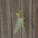Flatheaded Mayfly, male