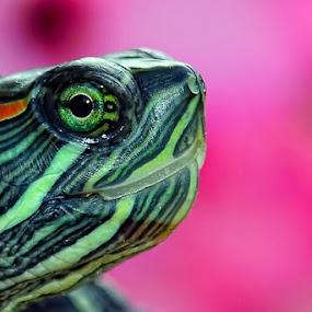 TURTLE by Bastian M - Animals Amphibians ( brazilian turtle, green head of turtle, green eyes, turtle head, turtle )