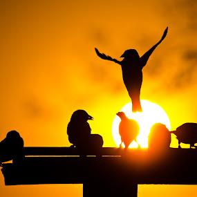 Angelic flight by Vanessa Meyer - Animals Birds ( bird, black & gold, bird table, sunset, weaver, bird feeder, gold, birds, sun )