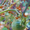 Leaf footed bug (nymphs)