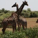 Masaai Girafee