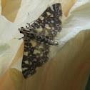 Swan Plant Moth