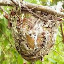 Vireo Bird's Nest