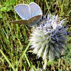 mariposa común azul (macho)