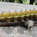 Giant peacock moth (caterpillar)